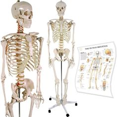 Anatomical Skeleton Model w/ Stand for Medical School Learning Aid Anatomy Class…