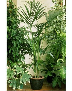 Kentia palm (Howea forsteriana) Palm lovers should head straight for this elegant variety which is native to Lord Howe Island off the NSW coast. Also known as thatch palm, it grows in all types of lighting, from dark to well-lit, so its feathery fronds can grace any corner of your home.