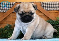 This is a Pug pup ready to jump into your arms and load you with puppy kisses. She is a social butterfly sure to turn heads everywhere you go. Cute Puppies For Sale, Pugs For Sale, Cute Pug Puppies, English Bulldog Puppies, Black Lab Puppies, Rottweiler Puppies, Cute Pugs, Baby Puppies, Terrier Puppies