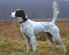 hunting dogs | English Setter