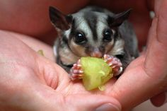 Are Sugar Gliders Good Pets? | Facts, Foods, Carings & Behaviours