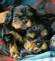 Sleeping Black and Tan Cavalier King Charles Spaniel puppies King Charles Puppy, Cavalier King Charles Dog, King Charles Spaniel, King Spaniel, Spaniel Puppies, I Love Dogs, Cute Dogs, Baby Animals, Cute Animals
