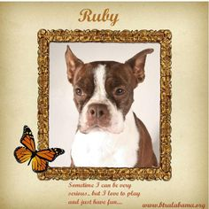 Meet Ruby, a Petfinder adoptable Boston Terrier Dog | Alabaster, AL | Ruby is a beautiful and sweet Boston terrier girl.  She weighs 20 lbs and she is 3 years old.  Her...