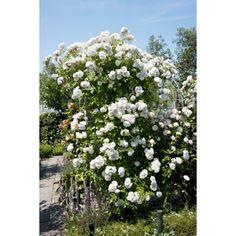 Rikblommande, vacker klätterros med små, halvfyllda vita blommor i stora klasar. Svag, god doft. Engångsblommande. Skuggtålig och anspråkslös. ...