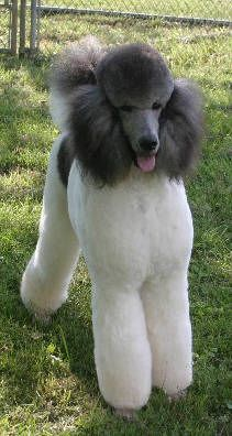 "Learn even more info on ""poodle dogs"". Look at our website. Dog Training Methods, Basic Dog Training, Dog Training Techniques, Training Dogs, Poodle Haircut, Poodle Hairstyles, French Poodles, Standard Poodles, Poodle Cuts"
