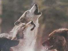 Full of fantastic photos following the Sawtooth wolf pack in their adventures. FreeShip LIVING WITH WOLVES Jim Jamie Dutcher Like New Hardback PHOTOS CD Giftit