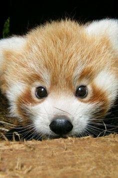 Red panda #cutey