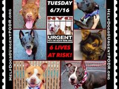 """6/7 Please Share! SUPER URGENT tap picture 6BEAUTIFUL LIVES OF DOGS TO SAVE 6/7TO BE DESTROYED STARTING 12NOON PLEASE SAVE US WE ONLY HAVE A FEW MINS / HOURS TO LIVE BEFORE WE GO TO DOGGY HEAVEN THANK YOU PLEASE REPIN AND SHARE THIS INFORMATION  TIME IS CRITICAL THANK YOU IRISH : . Please share! The shelter closes at 8pm. Go to the ACC website( http:/www.nycacc.org/PublicAtRisk.htm) ASAP to adopt a PUBLIC LIST dog (noted with a """"P"""" on their profile) and/or work with a rescue group if you can…"""