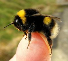 English Bumble Bee ~ I love this picture. Bees are actually pretty gentle, and almost like little flying fuzz balls...