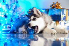 cute siberian Husky puppy