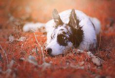 Animal Border Collie Dogs Pet Dog Wallpaper Wallpaper Grab
