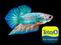 Originally from Southeast Asia, for short periods can breathe air using their labyrinth organ. Sometimes mistaken for other Bettas, the Round Tail (or Fan Tail Betta) has a single tail that's round and full.  Freshwater Top Feeder Skill Level: Great beginner fish Daily Diet: BettaMin® Flake Medley Supplement: Tetra® Betta Floating Mini Pellets Treats: TetraBetta™ Worm Shaped Bites   For more information on fish types and diets visit www.tetra-fish.com or download the free My Aquarium App. Tetra Fish, Aquarium Set, Aquarium Maintenance, All Fish, Cichlids, Colorful Fish, Freshwater Fish, Betta, Fresh Water