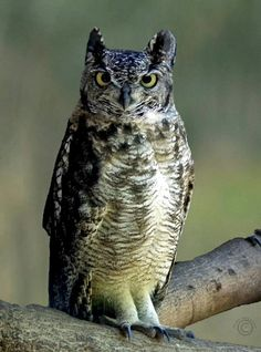 Spotted Eagle Owl (Bubo africanus) Africa South of the Equator and parts of the Arabian Penninsula