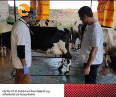 महेंद्र सिंह धोनी एक अच्छे खिलाड़ी होने के साथ-साथ एक अच्छे किसान भी बनते जा रहे हैं। रांची में किसानी करने के आलावा अब धोनी गो-पालन में भी Live, Animals, Animales, Animaux, Animal, Animais
