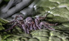 Spider www.tjsfoto.com
