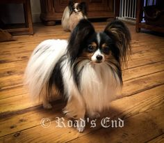 Extensive information about Papillon Dogs . Health, diet, daily care, history, available AKC registered Papillon puppies. Chihuahua Puppies, Cute Puppies, Cute Dogs, Dogs And Puppies, Chihuahuas, Papillion Puppies, Animals And Pets, Cute Animals, Lucky Puppy