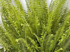 http://luftreinigende-pflanzen.de/ Farn