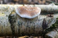 Grifos posted a photo:  Fungus growing from fallen tree trunk