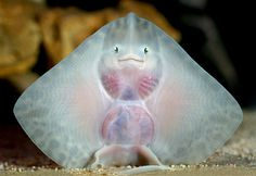 This baby thornback ray has a rather alien-like smile!   (Photo credit: Solent News via Rex USA)