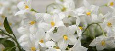Solanum Jasminoides - Green Gold