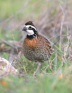 Bobwhite quail: Bob is a covey bird that makes for fast action shooting on the covey rise. Enjoyed hunting them growing up but development has eliminated their habitat. Quail Hunting, Deer Hunting Tips, Exotic Birds, Colorful Birds, Button Quail, Raising Quail, Game Birds, Backyard Birds, Bird Pictures