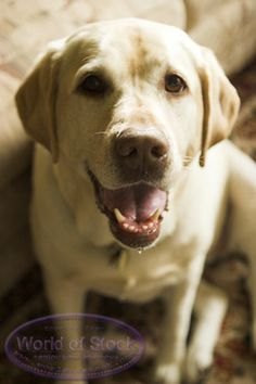 Yellow Labs ♥ gotta add this in.  She has been such a sweet blessing to our home,  we love our yellow lab, Angel!