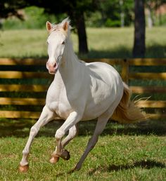 DEM Cremebrule cremelo Lusitano mare cantering straight ahead