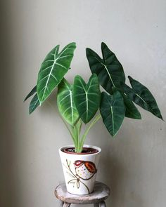 Frydek took over birdie planter as Clarinervium was moved to a bigger pot 😊 Thankful to (my 'partner-in-crime' when it comes to plant-shopping), for securing this healthy plant for me. Not forgetting you . House Plants Decor, Plant Decor, Garden Plants, Indoor Plants, Faux Philodendron, Plantas Indoor, Indoor Gardening Supplies, Plant Aesthetic, Tropical Plants