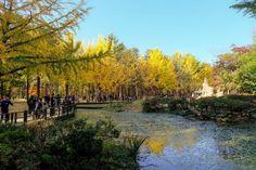 Nami Island in Seoul South Korea (Autumn Season)