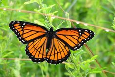 Monarch and Viceroy Butterfly Comparison | ... monarch but the experts tell me it s a viceroy