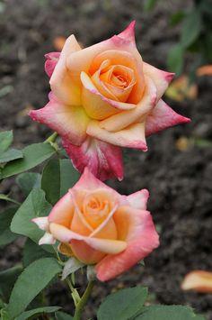 'Arc Angel'  Hybrid Tea Rose. Fryer's Roses 1996