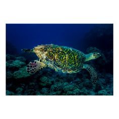 Poster featuring a Hawksbill Sea Turtle swimming in the clear blue waters of the Coral Sea on the Great Barrier Reef off the coast of QLD, Australia. #turtle #turtles #hawksbill #ocean #sea #nature #wildlife #seaturtle #hawksbillseaturtle