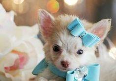 Chihuahua- blue bows