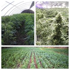 Such a beautiful Sea of Green! #Cannabis #LegalizeIt #Green