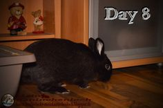 Kaninchenfan Lucky - Mein Kaninchenloch: Day 8 begin with some walk around the livingroom. Lucky and Snow search for some special food, an field salad, hidden behind the coach (^_~) Schnucki found it already and i think they will find it to (^_^)  #rabbits #kaninchen #hasen #zwergkaninchen #usagi #lapin #hare #pets #haustiere  kaninchenfanlucky-meinkaninchenloch.blogspot.de/2014/12/day-8-begin-with-some-walk-around.html