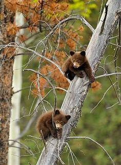 bear cubs---i wonder if bears would make good pets :) Maybe if i lived in the wilderness with them :P