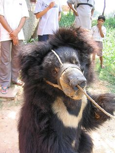 'Bile Milking' of Bears Leads to Brutal Imprisonment and Torture Posted by Kara Foran Target: Vietnamese President Truong Tan Sang http://forcechange.com/11340/bile-milking-of-bears-leads-to-brutal-imprisonment-and-torture/?fb_ref=.UnKRV4c8Kro.send&fb_source=message#gf_17