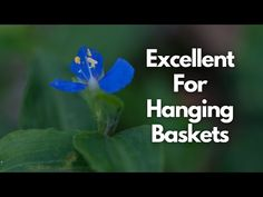 Commelina Cyanea (Scurvy Weed) | Australian Native Plant Profile | Wild Edible Plants - YouTube Edible Wild Plants, Wild Edibles, Hanging Baskets, Native Plants, Weed, Nativity, Profile, Youtube, Fall Hanging Baskets