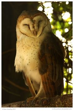 African Barn Owl by In-the-picture on DeviantArt
