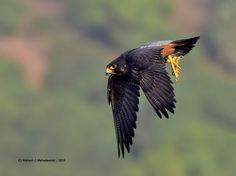 Indian Peregrine Falcon (Peregrinator)