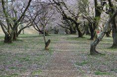 548:「桜道」@宮川堤公園