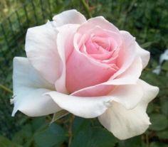 Rose by Gladyspost