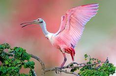 pink spoonbill birds | Found on redbubble.com