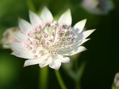 Astrantia is a group of flowers, also known as masterwort, that is both beautiful and unusual. While not common to most gardens, it should be. Take a look at how to care for Astrantia in this article.