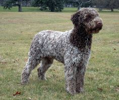 Lagotto Romagnolo - Truffles, Anyone? The charming, curly coated Lagotto is an old breed of water retriever from the lowlands of Comacchio and the marshlands of Ravenna, Italy. Eventually, the marshlands were drained and turned into farmland, leaving the Lagotto without a job. But not for long!