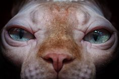 """Curious sphynx cat almost entered into my lenses on cat's exhibition show in Rishon Lezion, Israel"" - by Tatyana Druz"