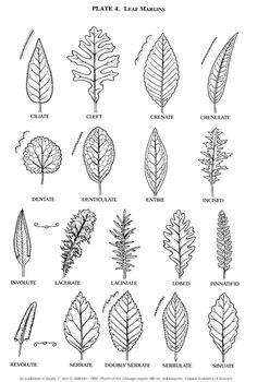 tree identification flashcards - Google Search