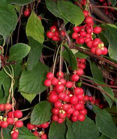 Schisandra chinensis (Kínai életbogyó)
