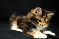 Sweet, Kitty, Hd Cat Wallpapers, Puffy Cats, Widescreen Pussycats, High Resolution Pet Photos, Animal Love, Baby, Amazing Cats, Windows Wallpapers Of Cats, 1805×1015