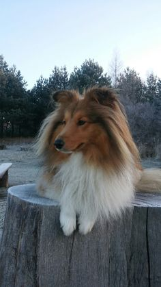 Cute Baby Puppies, Cute Dogs, Dogs And Puppies, Doggies, Rough Collie, Collie Dog, Mini Collie, Shetland Sheepdog, Mundo Animal